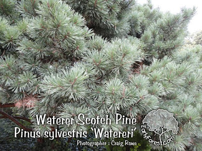 Waterer Scotch Pine Foliage