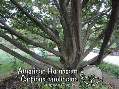 American Hornbeam Branching