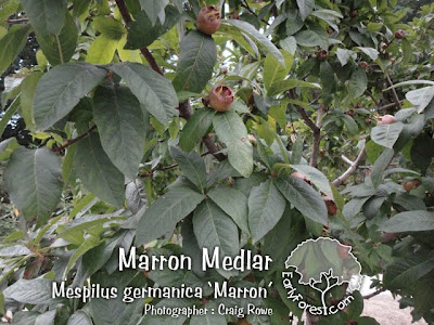 Marron Medlar Leaves