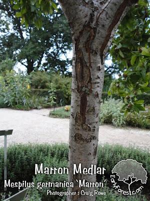 Marron Medlar Bark