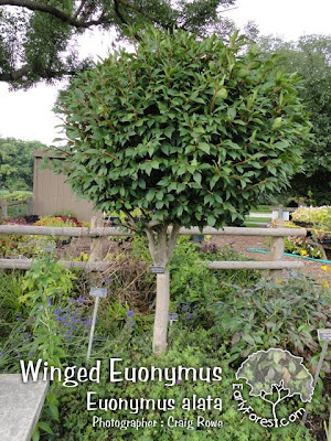 Winged Euonymus Topiary