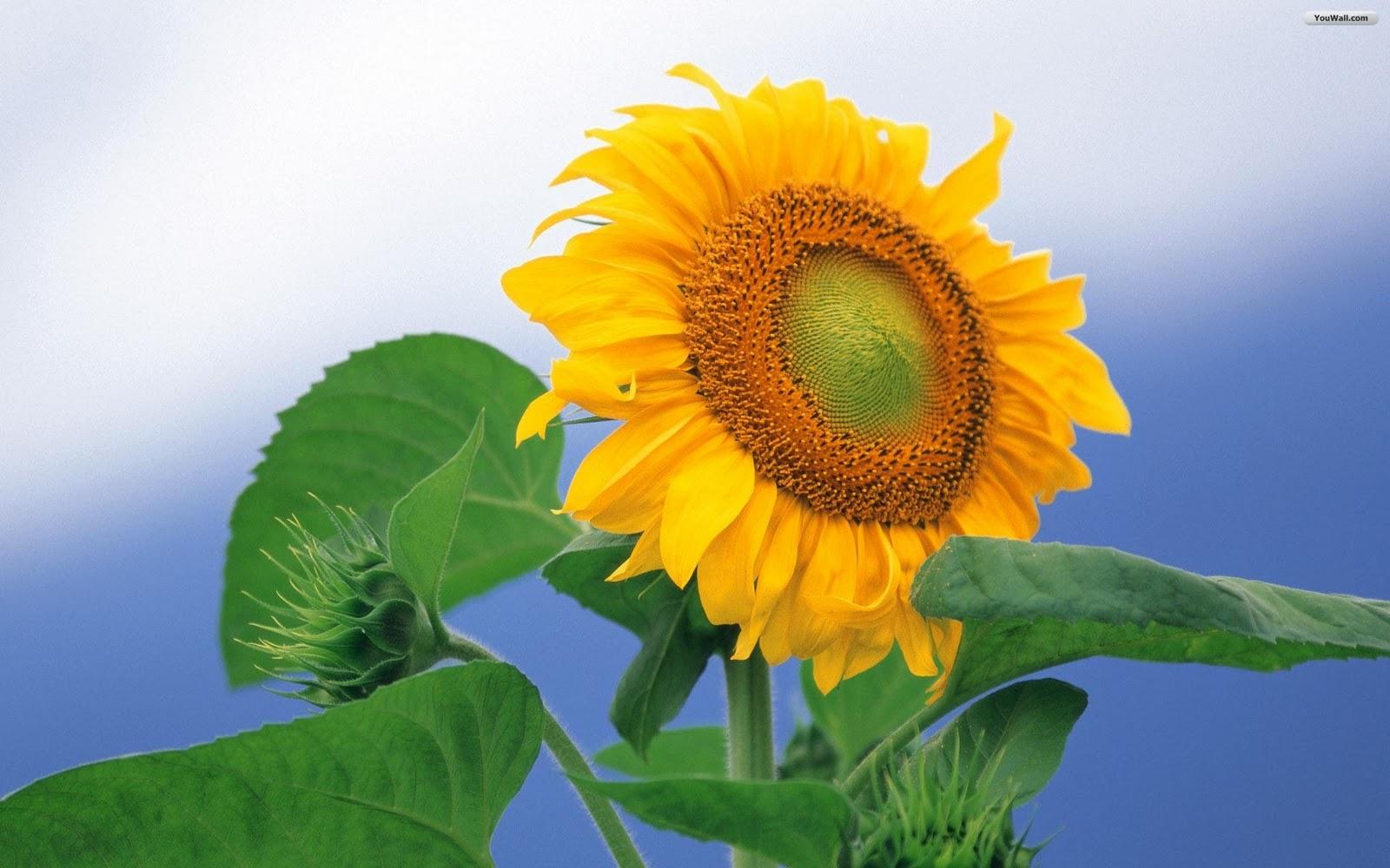 http://2.bp.blogspot.com/_UdUDH_BCTj4/TMyS3YVpatI/AAAAAAAAAGE/vDDOVPjvZaI/s1600/sunflower_wallpaper_9953e.jpg
