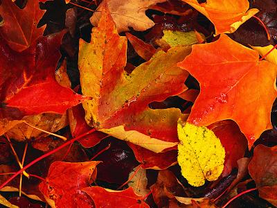 autumn wallpaper. Vivid Autumn Leaves wallpaper