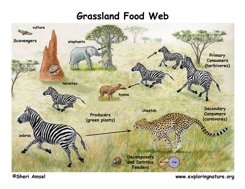 Grasslands Animals Food Web Grassland Biome Animals Food