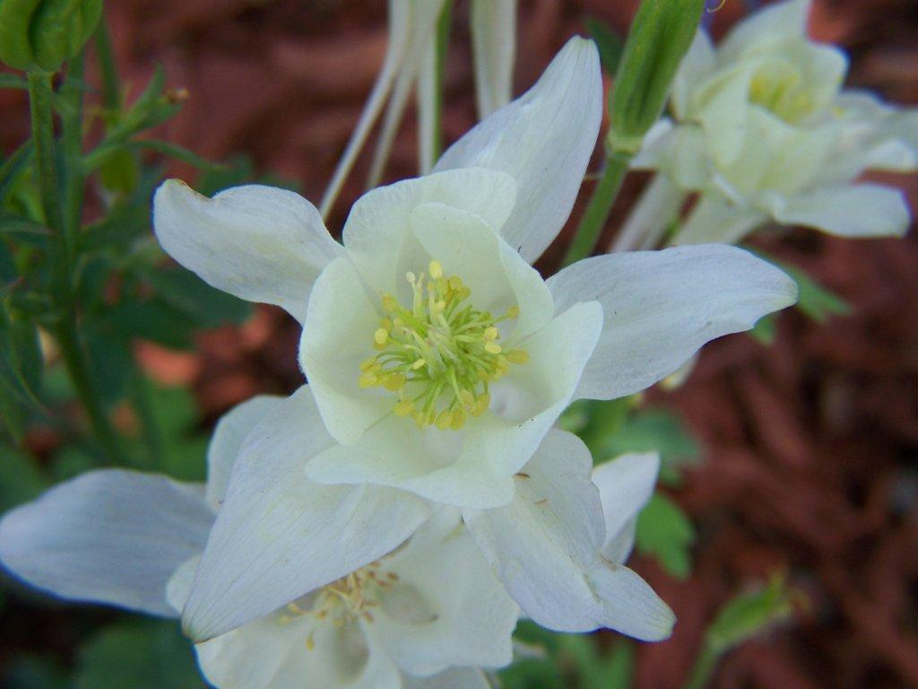Gardening and Flowers White Columbine Flowers