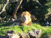 Echter neuseeländischer Löwe
