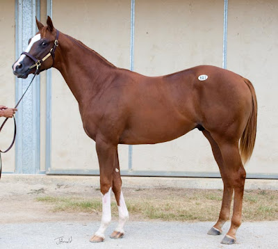 Purge x Ballagren Colt Fasig Tipton Texas Summer Yearling Sale Topper