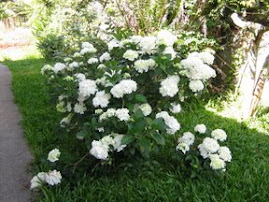 As hortências Brancas do meu jardim.
