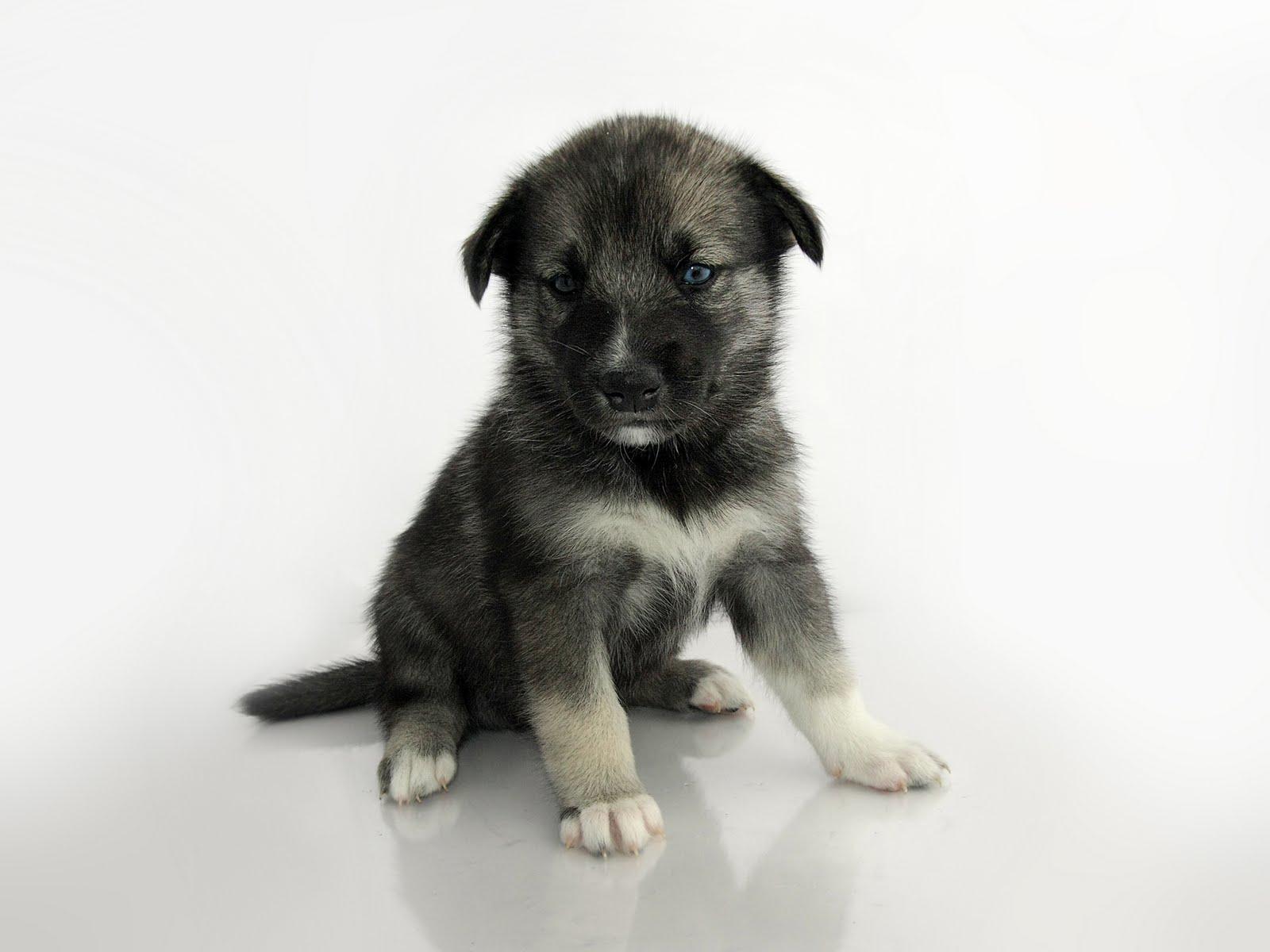 http://2.bp.blogspot.com/_UjJgEwVlPQs/Sxgs7O9OcdI/AAAAAAAADio/KZ_Ppc23IXg/s1600/Keeshond_Sibirian_Husky_crossbreed_puppy.jpg