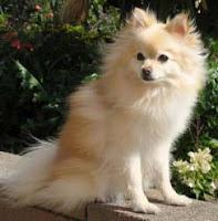 Cream Colored Pomeranian