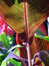 Canna Lily 'Tropicana'