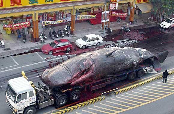 Japon : reprise de la chasse à la baleine
