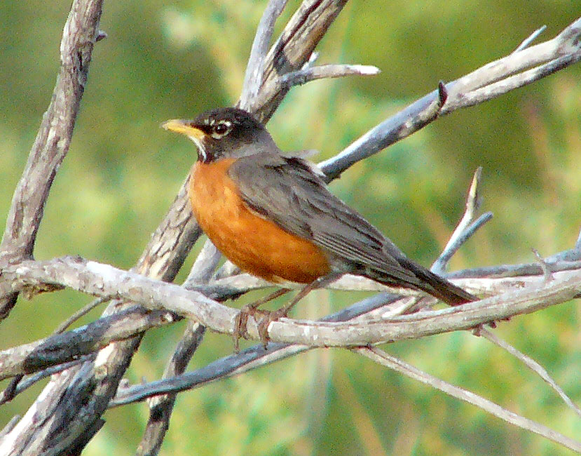 American Robin and Bird Anatomy http://birds242.blogspot.com/2011/01/american-robin.html