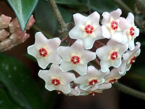 Matchpoint i fiori australiani for Pianta di cera