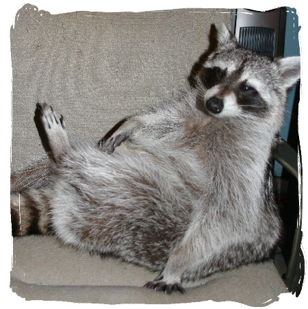 1000+ images about ЛЮБИМКА on Pinterest Raccoons As Pets