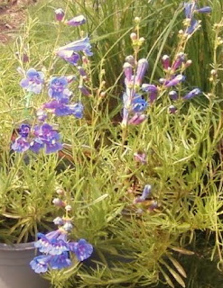 Penstemon Margarita B.O.P.