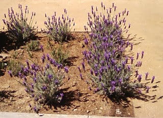 UCD Spanish Lavender