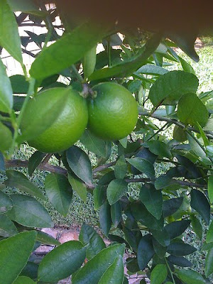 citrus should be protected from the frost