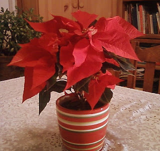 my poinsettia