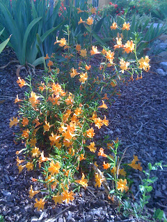 Sticky Monkey Flower, a California native