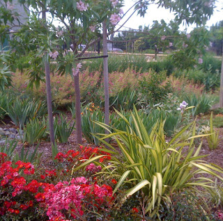Chilopsis linearis (Desert Willow), roses and phormium overlook the rain garden