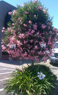 strip mall oleander