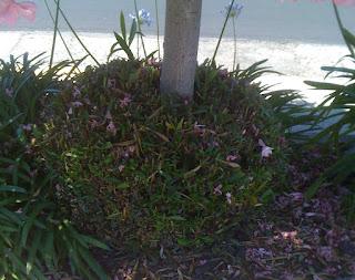 oleander bustle