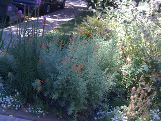 Liatris spicata and Zauschneria californica