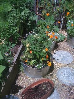 veggies in the backyard