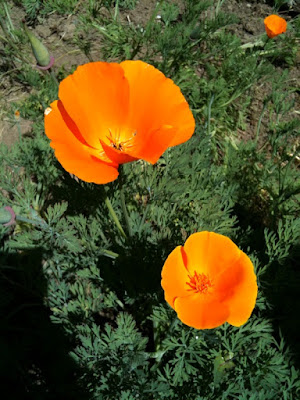 my favorite CA native, the California Poppy