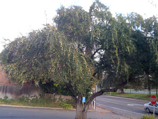 parking lot olive tree ... who wants those olives?