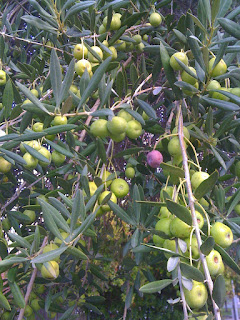 not all the olives ripen at same time