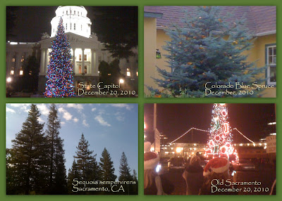 clockwise from upper left, CA State Capitol Xmas tree, Corado Blue Spruce, Old Town Sacramento Holiday tree, Sequoia sempervirens