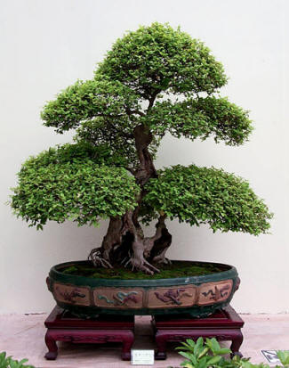 Bonsai world - Plantas para bonsai ...