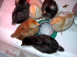 Chicks at the Water Cooler