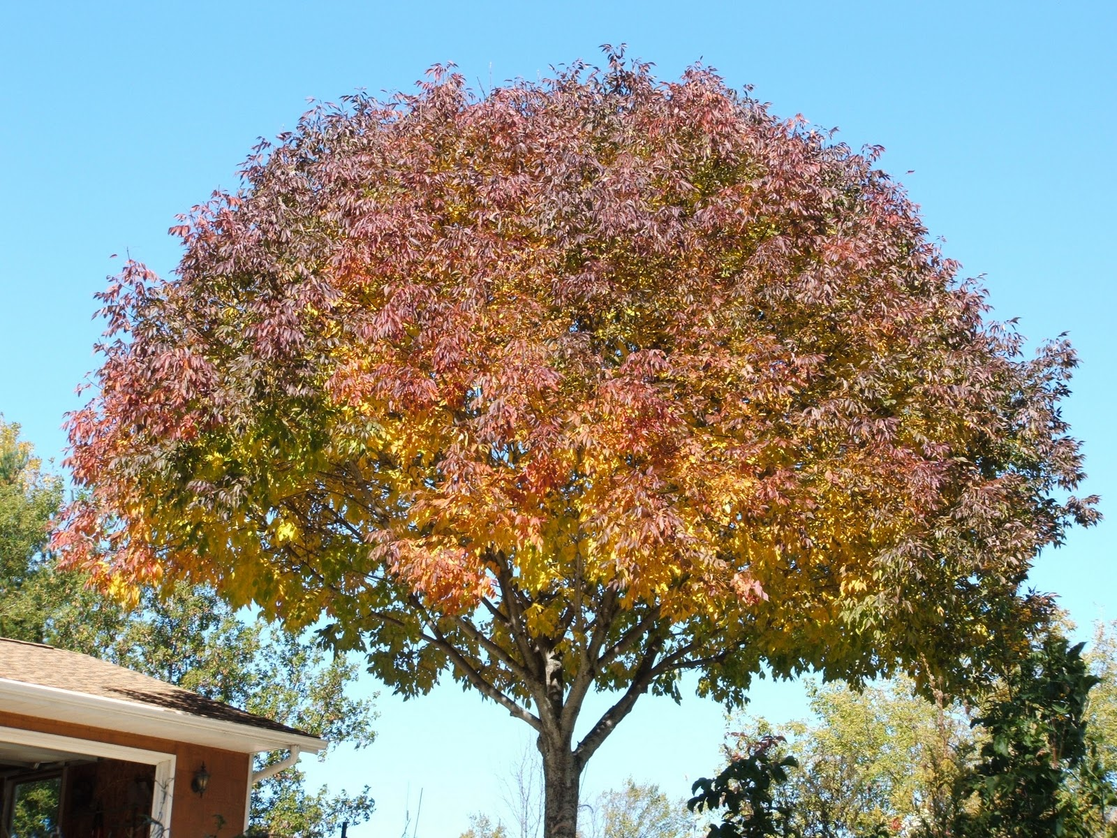 how to get rid of an ash tree