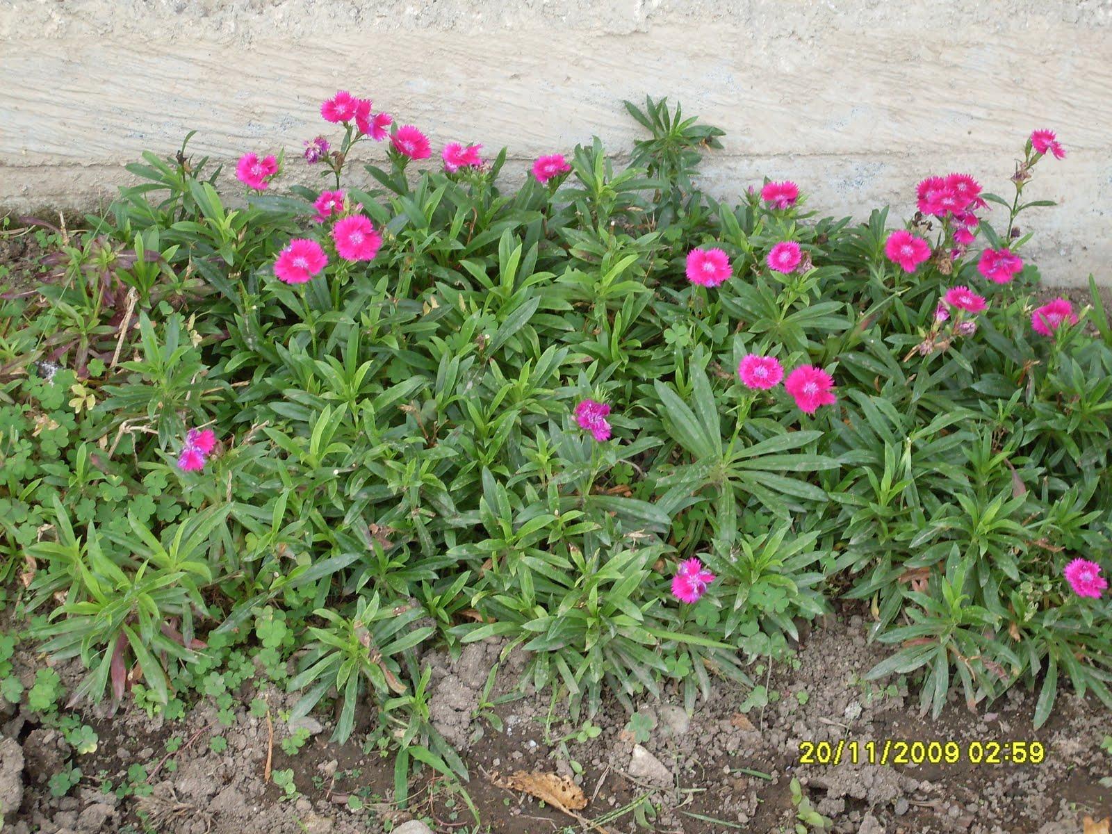 Clavel for 20 plantas ornamentales