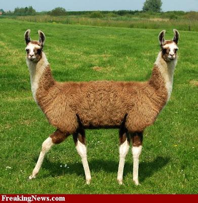 Two-Headed-Llama.jpg