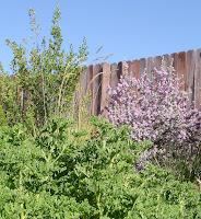 Texas-Sage-in-my-herb-garden-behind-Rose-Scented-Geranium