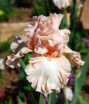 iris de culoare coral detaliu
