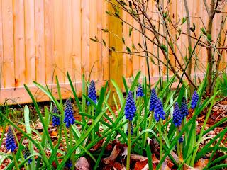 plante bulboase de primavara