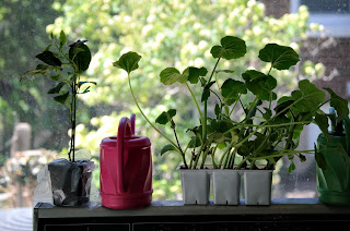 rasaduri gata de plantat in gradina