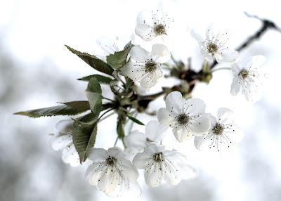 florile ciresilor in gradina romantica
