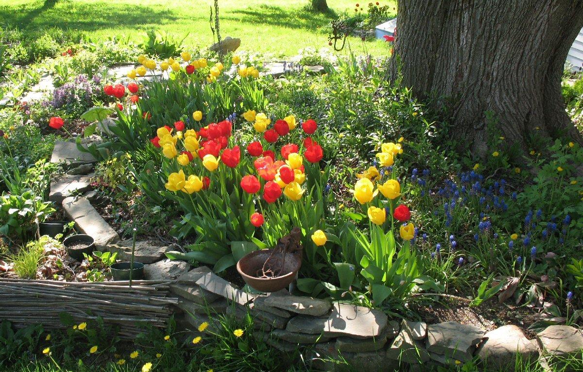 Gradini si parcuri Rescued_tulipsx1200