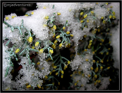Evergreen flowers in snow