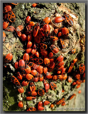 Red_Bugs