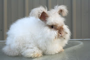 This is a twenty week old english angora buck that is for sale at a farm .