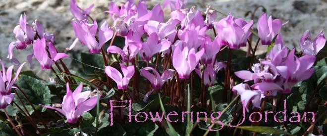 Flowering Jordan