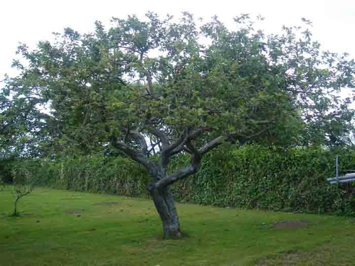 La espada oxidada la edad de los rboles for Arboles de hoja perenne sin fruto
