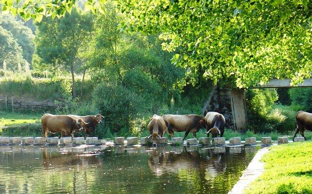 com vacas